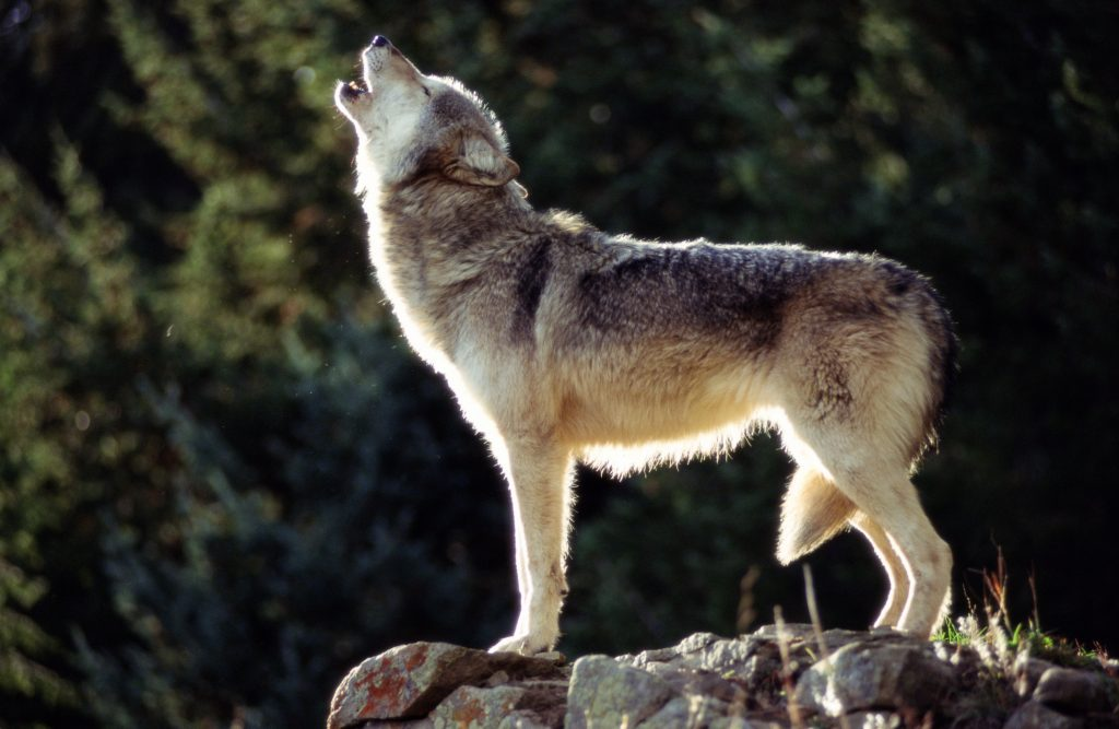 Gray wolf reintroduction wasn't popular with Western Slope voters. Some lawmakers want guardrails.